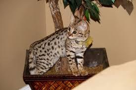 f1 savannah kittens for f1 savannah cat for