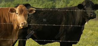 barbed wire fence cattle. Barbed Wire. Juniper Style Privacy Fence Wire Cattle F