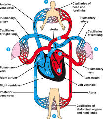 expository essay axis and allies circulatory system artery cells cardiovascular 2013
