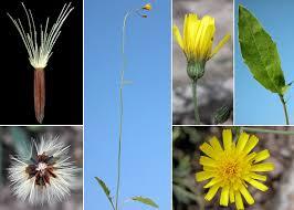 Hieracium bifidum Kit. ex Hornem. - Sistema informativo sulla flora ...