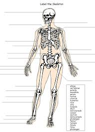 Gallery: Printable Bone Labeling Exercises, - HUMAN ANATOMY DIAGRAM