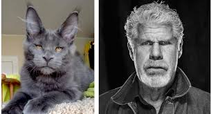 This cat and Hellboy actor Ron Perlman : totallylookslike