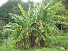 「芭蕉の木画像」の画像検索結果