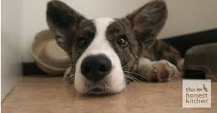 caring for your dog s ears naturally