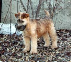 Wheaten Terrier Size Chart Puppy Manual