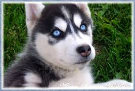 black husky puppies with blue eyes. Brilliant With Black Siberian Husky Puppy With Blue Eyes Allegro Huskies  Puppies Inside E