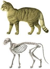 Cat Body Shape Chart Cat Anatomy Wikipedia