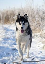 Alternatively, dogs with dark skin and shorter hair will likely undergo less stress on hot, sunny days than a shaggy saint bernard. Can Huskies Stay Outside In The Cold Embora Pets