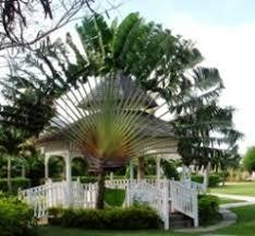fan palm trees. palm tree types with fan leaves trees