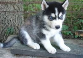 black husky puppies with blue eyes. Modren With Cute Husky Puppy With Blue Eyes And Black Puppies With Blue Eyes K