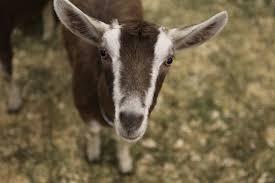 year of the goat doentary celebrates