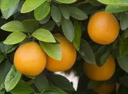 Výsledek obrázku pro citrus