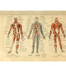 Whole Body Chart Amazon Com Meishe Art Vintage Poster Print Human Anatomy