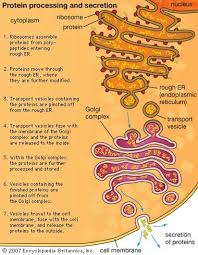 Endoplasmic Reticulum Cell The Endoplasmic Reticulum Britannica