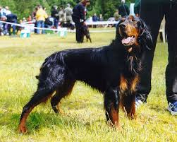 English Setter Weight Chart Gordon Setter Wikipedia