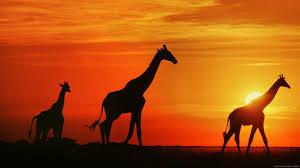 Giraffe Wallpaper 14