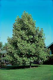 Fast-Growing Shade Trees