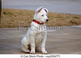 white husky mix puppy. Modren White White LabHusky Mix Puppy Throughout Husky Puppy K