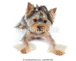 This cut is just a hair over the torso that is tapered on the head, nose, lower legs, paws and tail. Dog With Large Eyes Yorkshire Terrier With Large Beautiful Eyes And Short Hair Lies On White Background Canstock