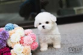 white teacup puppy. Wonderful Teacup Teacup Teacup Puppies Puppy Teacuppuppy Teacuppuppies  Price For White Teacup Puppy