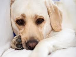 """Résultat de recherche d'images pour """"chained Labrador"""""""