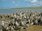oesters waddenzee