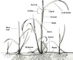 Weed Photgallery Grass Identification Characteristics