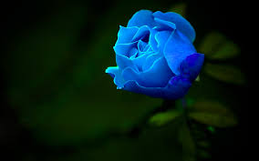 Blue Rose Wallpapers (62+ background ...