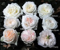 garden roses. White_Garden_Roses-001 Garden Roses O
