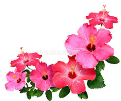 hibiscus flowers hibiscus flowers stock image image of nature beauty 7318487