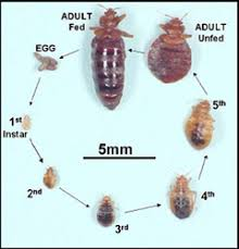 Bedbugs Images Bed Bugs Health Topics Contra Costa Health Services