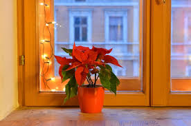 How do I keep poinsettias alive and thriving for next Christmas ...