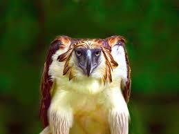 Harpy Eagle HD desktop wallpaper ...