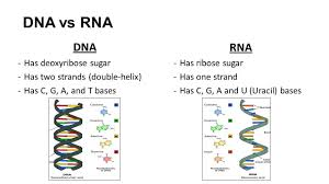 Dna Rna Venn Diagram Between Dna And Rna Venn Diagram