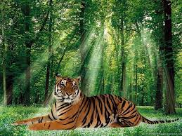 Tiger Forest Wallpapers - Top Free ...