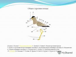Презентация на тему ПТИЦЫ Доклад подготовлен ученицей А  5 Общее строение птицы 1