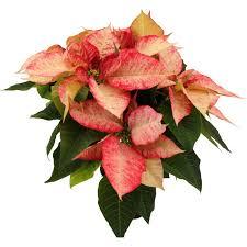 Weihnachtsstern Premium Picasso Rot Weiß Topf ø Ca 13 Cm Euphorbia