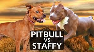 Staffy Colours Chart Are Pit Bulls And Staffies The Same Dog Breeds Faq