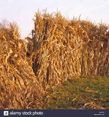 Stacks of dried corn stalks
