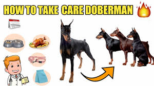 How To Take Care Doberman Pinscher In Hindi Doberman Care Tips Doberman Take Care Health