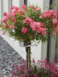 growing roses in containers rose bush