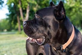 Tips On How To Train A Cane Corso