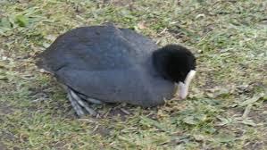 bird named eurasian coot stock fooe