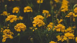 Yellow Marigold Flowers HQ Image Free ...