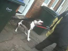 Coventry Pitbull Owner Has Fifth Dog Seized Coventrylive