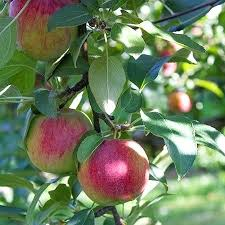Fruit Tree Pollination Chart Apple Tree Pollination Pink Apple Tree Low Chill Granny