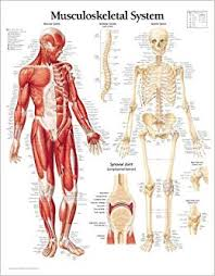 Human Skeleton Wall Chart Musculoskeletal System Chart Laminated Wall Chart
