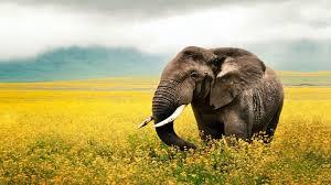 nice hd elephant desktop wallpper ...