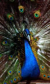 peacock wallpaper for mobile. Delighful Peacock Smartphone 53 Throughout Peacock Wallpaper For Mobile C