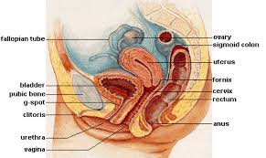 Illustrated sagittal view of the female reproductive system. 26 1a Overview Of The Male And Female Reproductive Systems Medicine Libretexts